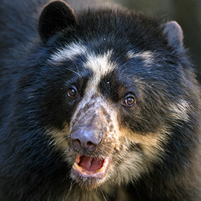 Andean bear vocalizing with mouth slightly open