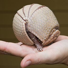 Baby armadillo rolled into ball