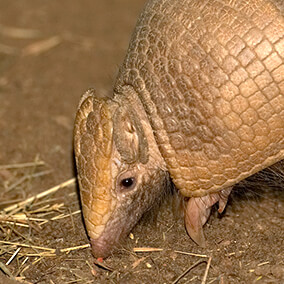 Armadillo sniffing a little snack