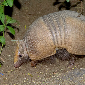 Three-banded armadillo sniffing through dirt