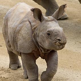 Rhinoceros | San Diego Zoo Kids