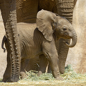 Baby elephant standing behind another elephant's trunk