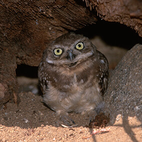 Burrowing owl hides in its log burrow