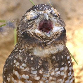Burrowing owl with eyes closed and beak wide open as it calls out