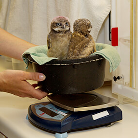 Burrowing owl chicks are weighed in a bowl on a scale