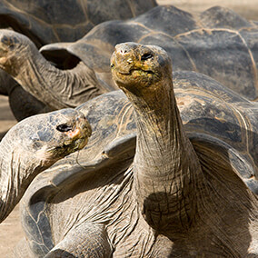 A Galapagos tortoise stretches its neck tall as it looks at another Galapagos tortoise in front of it.