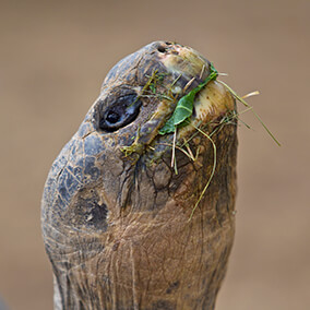 A Galapagos tortoise eating cabbage and grass as it stretches its neck skyward
