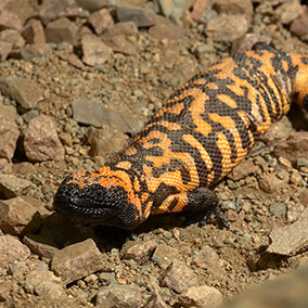 Gila monster on dry rocky dirt ground
