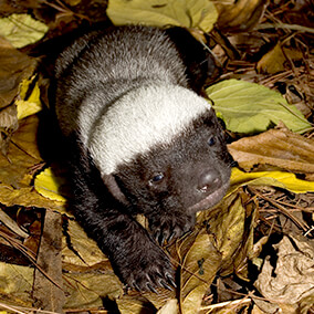 Honey badger (ratel) | San Diego Zoo Kids