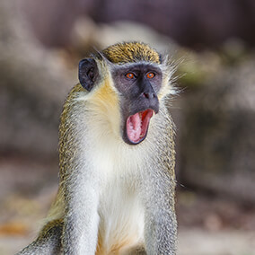 Vervet monkey with mouth wide open