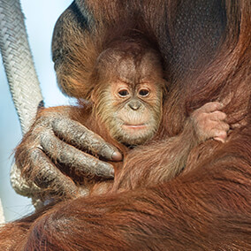 baby orangutan holds onto her mom's long hair