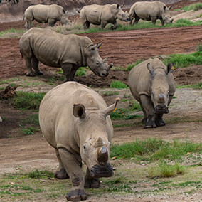 Six rhinos gathered together