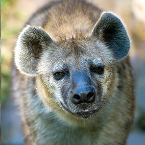 Spotted hyena displaying its rounded ears
