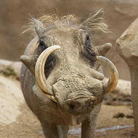 A warthog face with character