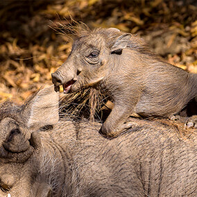 Warthog baby climbing its mother