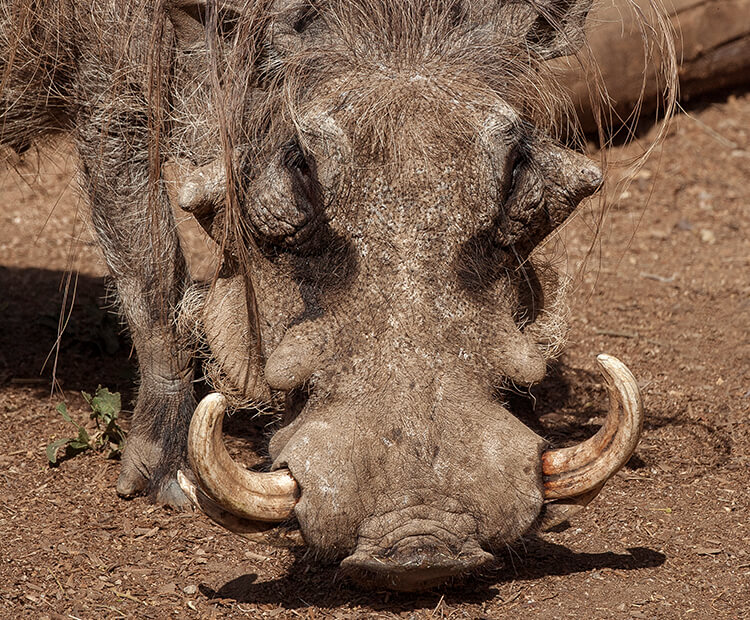 warthog san diego zoo kids