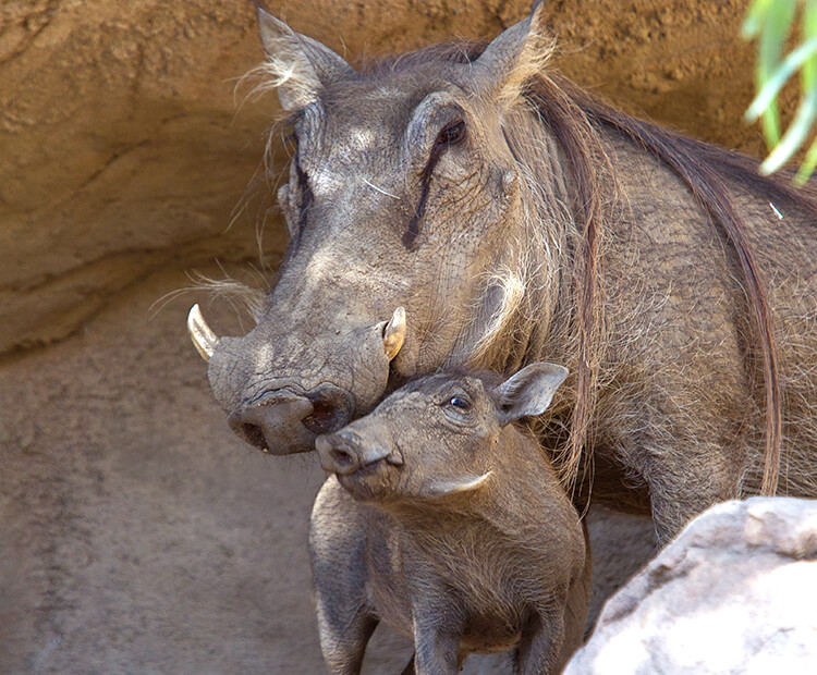 Warthog mom with baby