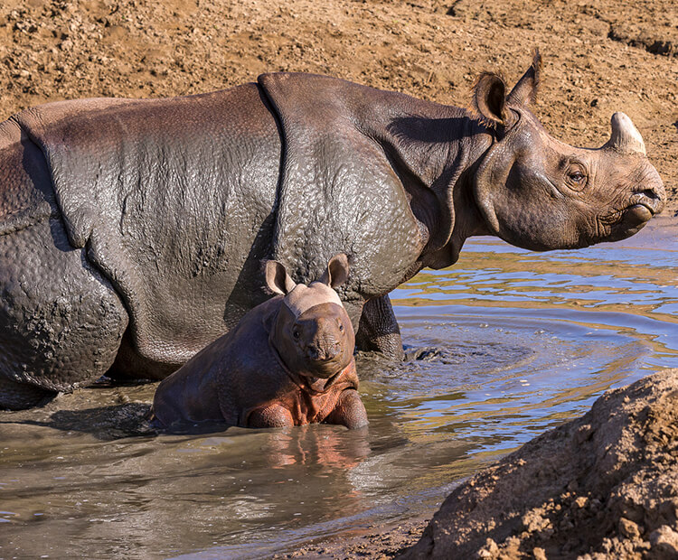 Ba by Indian rhino in mud puddle with mom