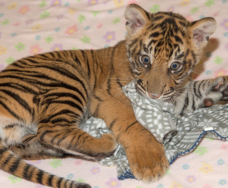 Tiger cub playing with blanket