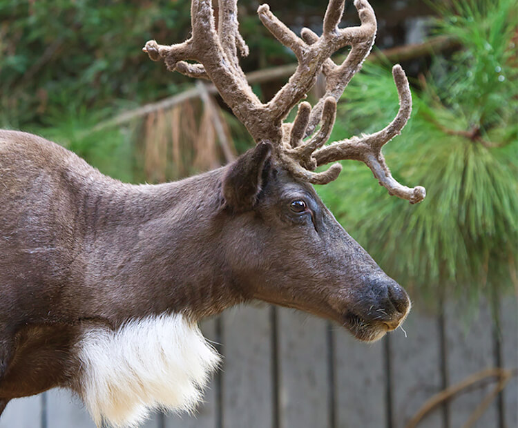 Closeup of reindeer face with tuft of white fur along neck