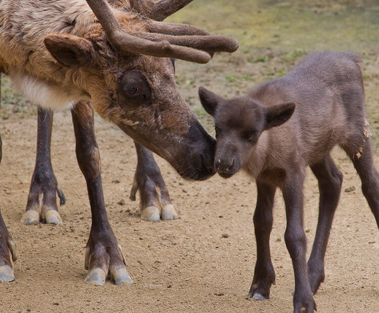 Reindeer mother with young calf