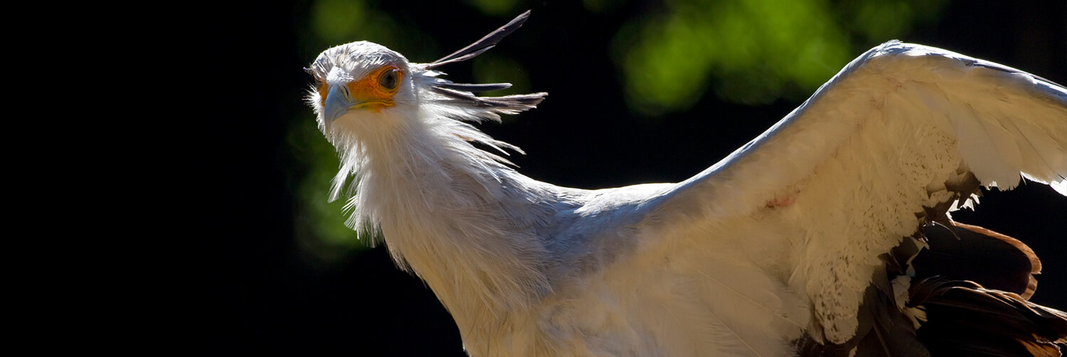 Secretary bird with left wing extended