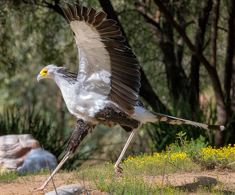 Secretary bird making a large leap with wings spread