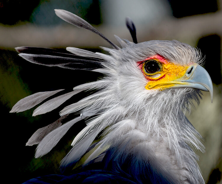 A juvenile secretary birds looking right shows off its large head feathers