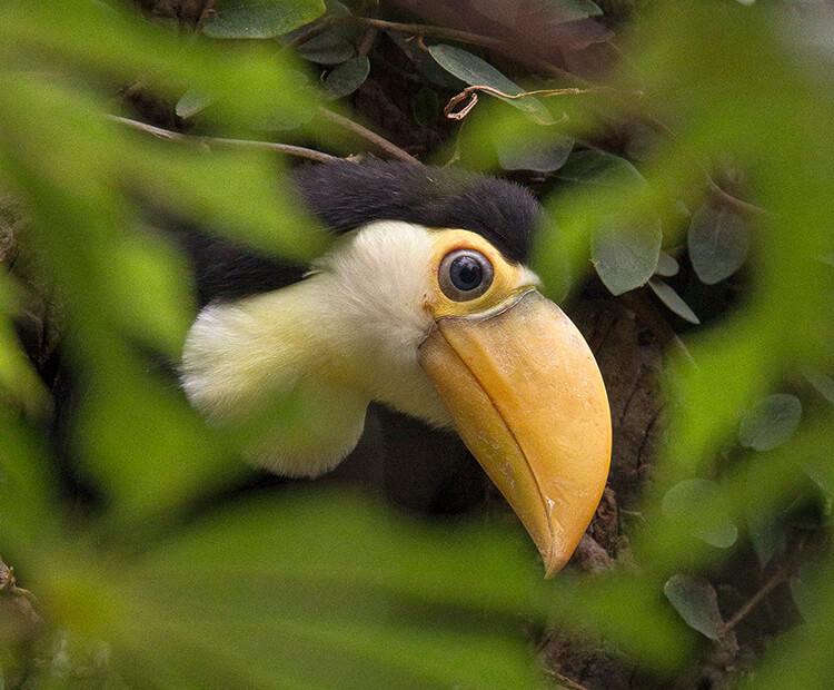 Toco chick peaking through leaves