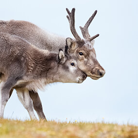 Reindeer mother with calf nuzzling faces