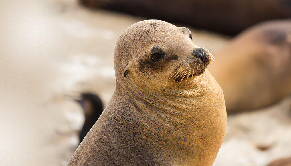 California sea lion looking right as it sits on a sandy beach
