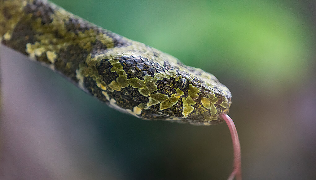 Close-up of a Man Mountain pit viper with it's pink tongue flicking