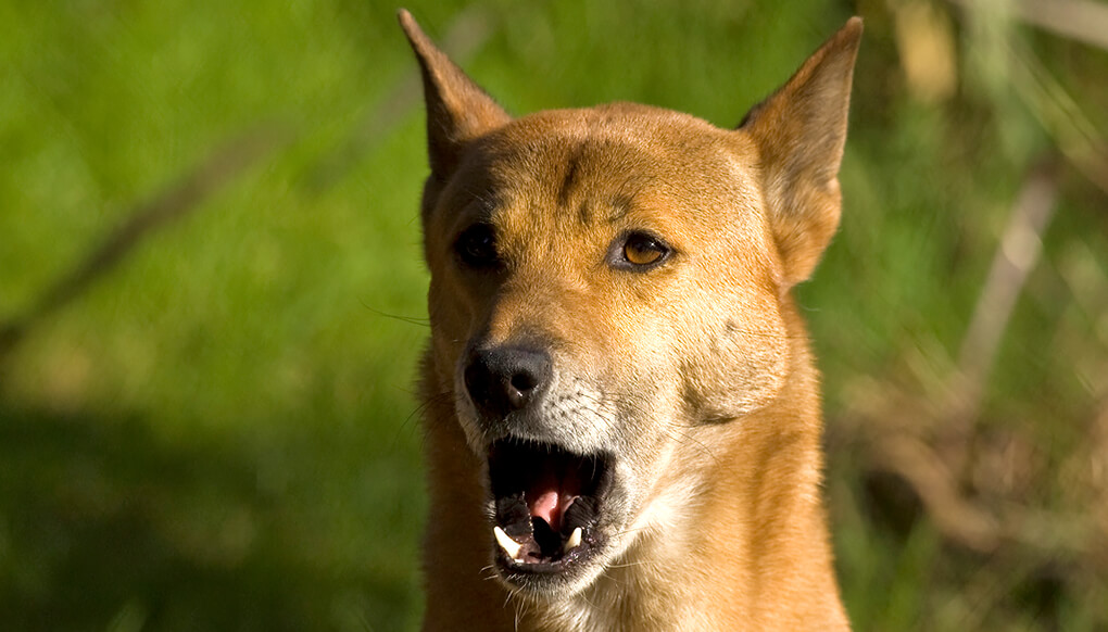 New guinea singing dog with mouth open in a howl