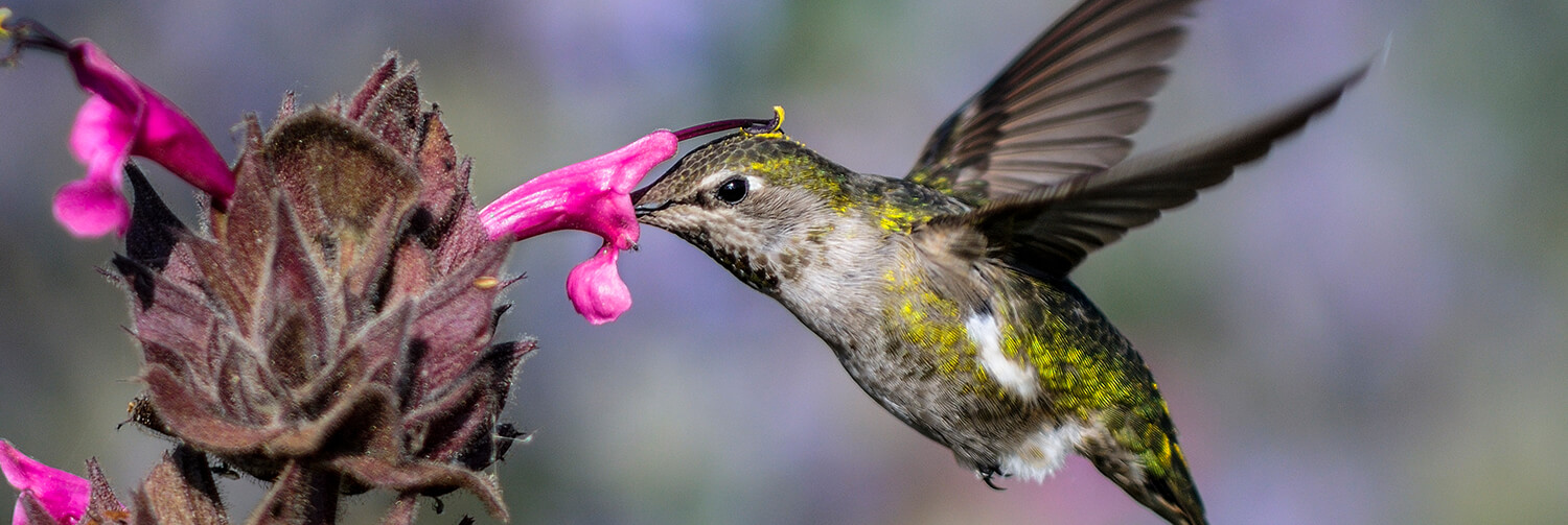 Female Anna's hummingbird drinking nectar from a fascia flower
