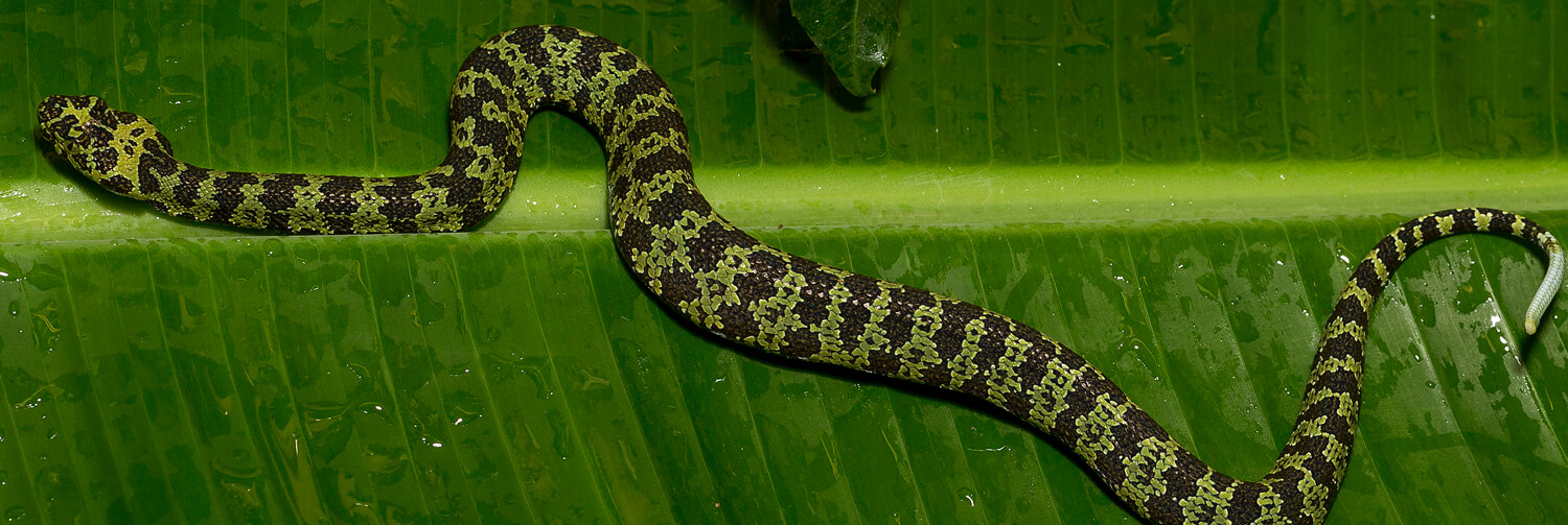 Hang mountain pit viper stretched out as it slithers across large green tropical leaf
