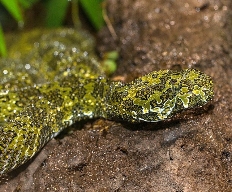 Mang mountain pit viper crawling over moist dirt