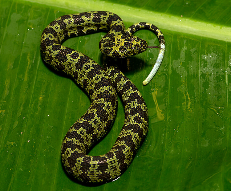 Hang mountain pit viper juvenile coiled up on a large green tropical leaf