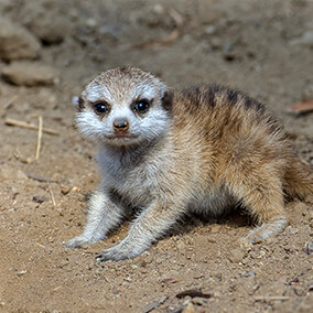 A young meerkat pup crouching on dirt