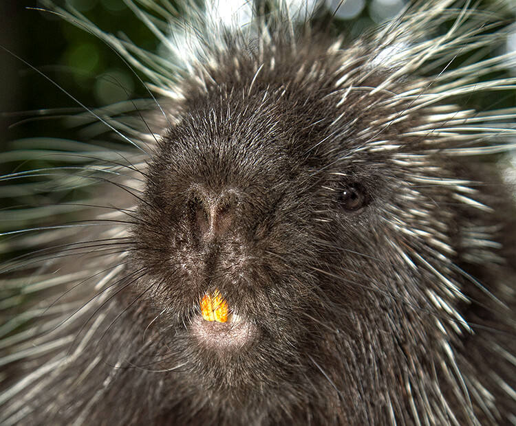porcupine incisors
