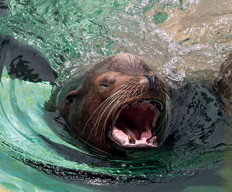 Sea lion barking while swimming