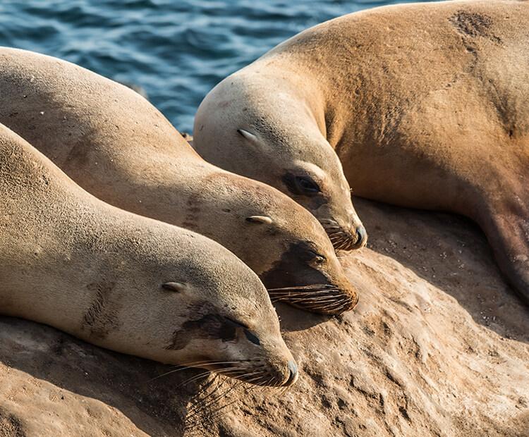 California Sea Lion San Diego Zoo Kids