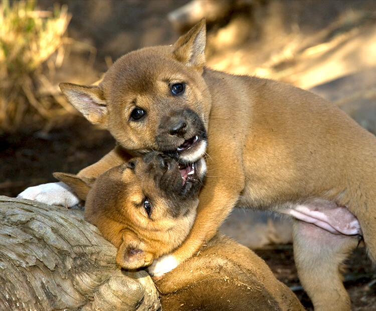 A pair of singing dog puppies play wrestling