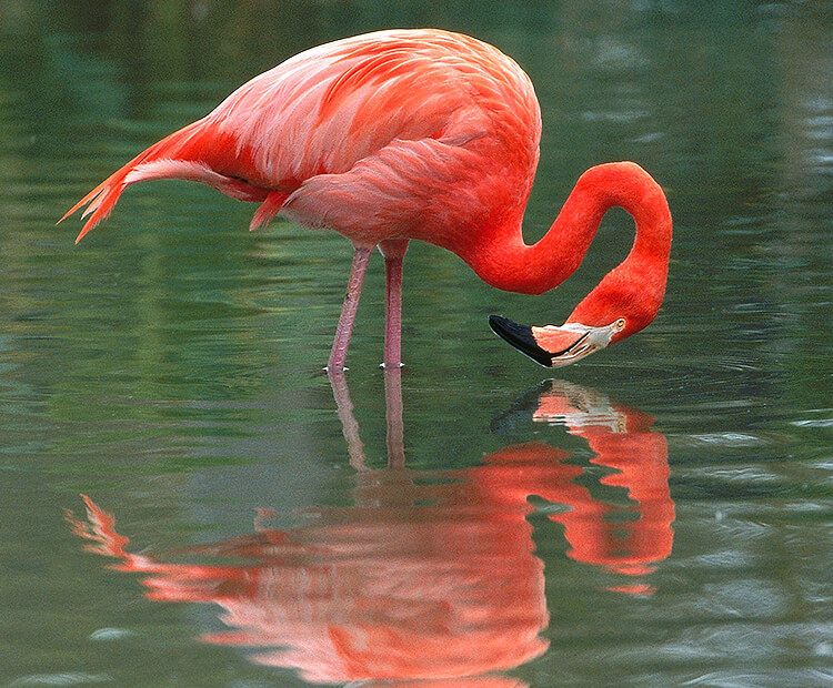Flamingo standing in shallow water