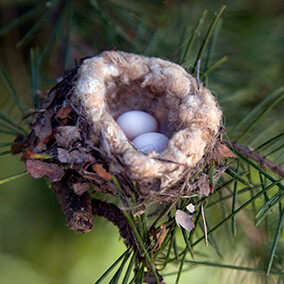 Two tiny Ann's Hummingbird eggs in a nest sitting on a pine tree.