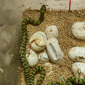 Mang mountain pit vipers hatching in a vet container