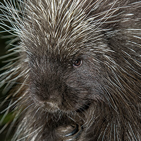 Cute little porcupine face