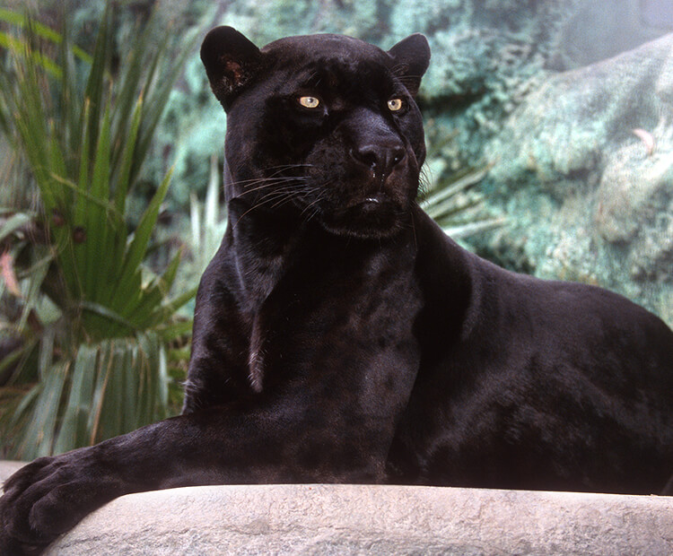 Black jaguar sitting in front of green foliage.