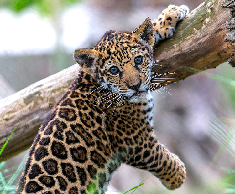 Jaguar cub with one paw holding onto tree branch as another dangles