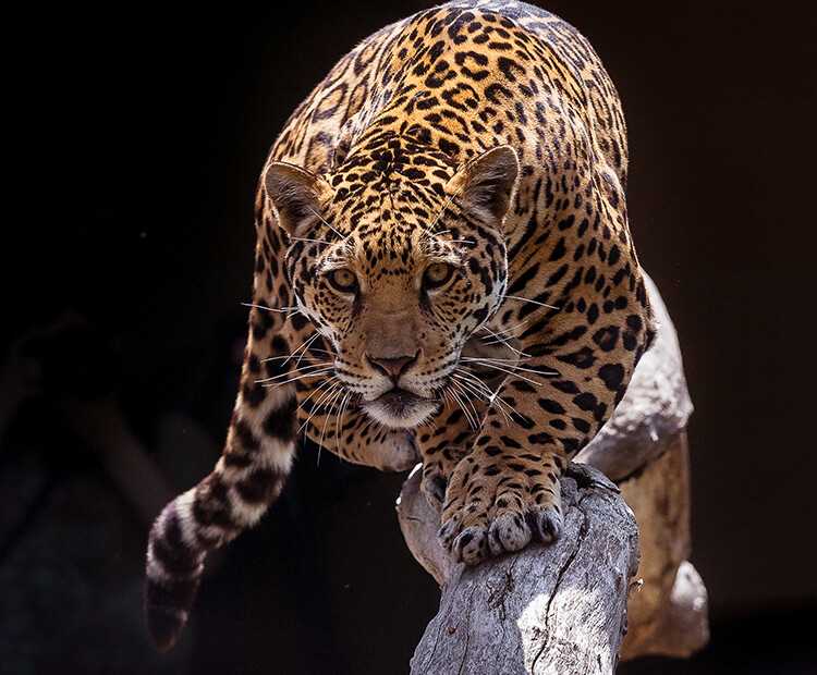 Captivating Jaguar Prowling On A Tree Branch