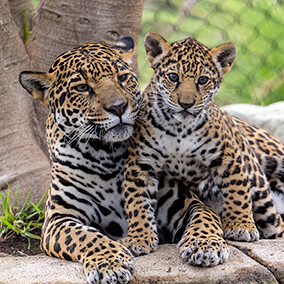 Jaguar mother with young cub
